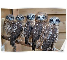 Southern Boobook Cross Eyed Owls  Poster