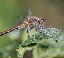 Dragonfly in the Garden by Mikell Herrick