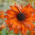 Glorious Gerbera Daisy by Carol Clifford