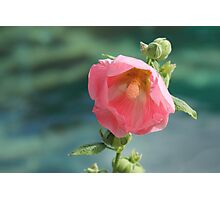 Hollyhock by the water Photographic Print