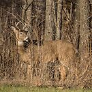 Deer Buck On Alert by Deb Fedeler
