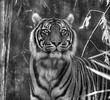 Taronga Zoo Tiger by Eve Parry