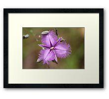 Fringe Lily - Australian wild flower Framed Print
