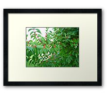 Holly Bush Framed Print