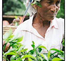 Lady picking tea Sri Lanka by auddie44