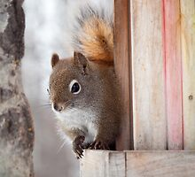 American Red Squirrel (Tamiasciurus hudsonicus) by dingobear