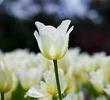 Tall Tulip Syndrome?  by Peter Whitworth