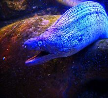Moray Eel by David J Baster