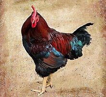 Rhode Island Red by RickDavis