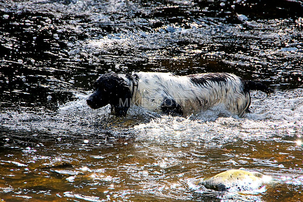 SPRINGER SPANIEL by MIKESCOTT