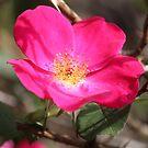 Five Petal Rose by Bob Hardy