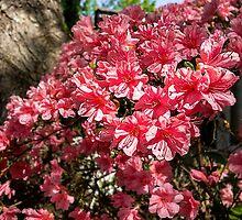Pink Azalea by vanceadkins