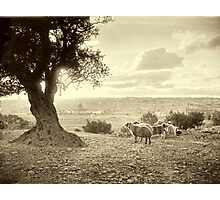 Shepherd and sheep in Mount of Olives - ca 1910 Photographic Print