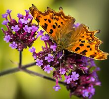 Comma Butterfly by ajwimages