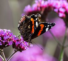 Red Admiral Butterfly by ajwimages