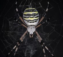 Golden Banded Garden Spider (Banded Argiope) by V-Light
