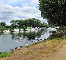 DUCKS ALONG THE THAMES. by ronsaunders47
