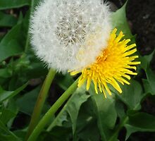 Dandelions by powerball225