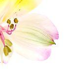 Alstroemerias blossom by sc-images