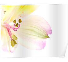 Alstroemerias blossom Poster