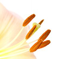 lily stamens by sc-images
