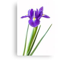 Single purple iris flower Canvas Print