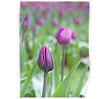 Field of purple tulips Poster