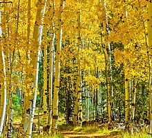 Aspens in Fall by Photopa