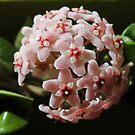 Hoya Compacta - Waxplant - Porzellanblume II by Tanja Katharina Klesse