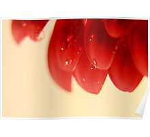 Wet Red Daisy Petals  Poster