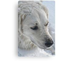 Just a Pair of Pretty Eyes and a Snow-covered Muzzle Canvas Print