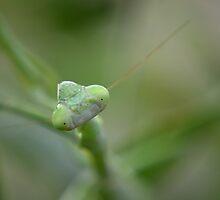 Narrow focus Carolina mantis face by Kate Farkas