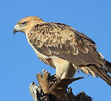 A Tawny Eagle by jozi1