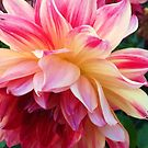 Pink Dahlia by Nadine Staaf