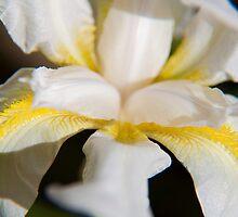 White Iris by Helen69