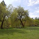 Spring willow tree by pond, green grass  by naturematters