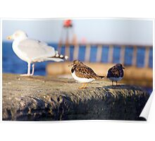 Whitby Sea Birds Poster