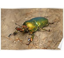 Golden stag beetle - Lamprina sp. Poster