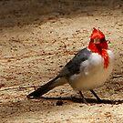 Red Cardinal in Hawaii  by Maureen Clark