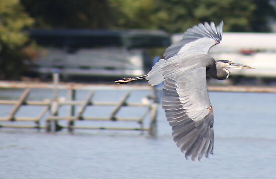 Great Blue Heron by Thomas Murphy
