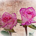 Pink Roses by Ian Jeffrey