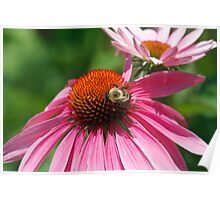 Cone flowers and bee Poster