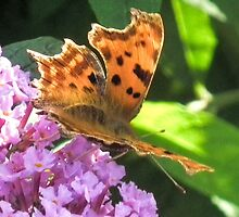 Comma Butterfly by lynn carter