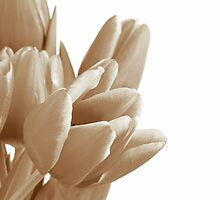 Tulips on a white background by sc-images