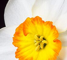 Close up white and orange daffodil by sc-images