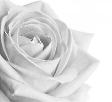 Black and white rose by sc-images