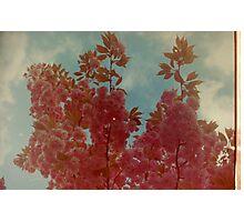 Cherry Blossom. Photographic Print