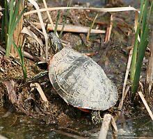Painted Turtle Among Reeds by rhamm
