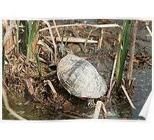Painted Turtle Among Reeds Poster