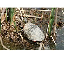 Painted Turtle Among Reeds Photographic Print